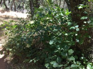 Comment if I'm wrong but sure looked like poison oak to me