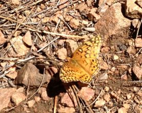 variegated fritilliry on Winsor Trail
