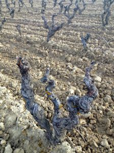 Temperanillo vines in winter, Rioja