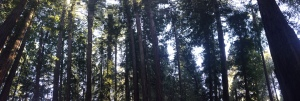 Cathedral Redwoods Henry Cowell State Park Santa Cruz